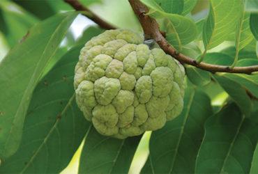 fruite-4